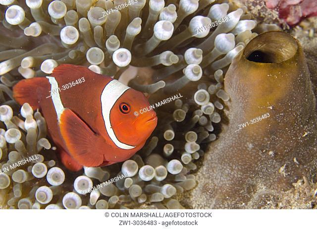 Spinecheek Anemonefish (Premnas biaculeatus) in Bubble Tip Anemone (Entacmaea quadricolor), Laha 1 dive site, Ambon, Maluku (Moluccas), Banda Sea, Indonesia