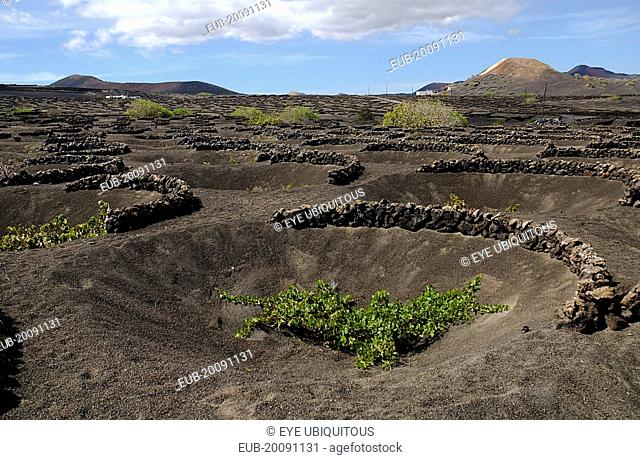 La Geria wine producing area. Shallow crater with semi circular wall of volcanic rocks called a zoco which gives protection to each individual vine