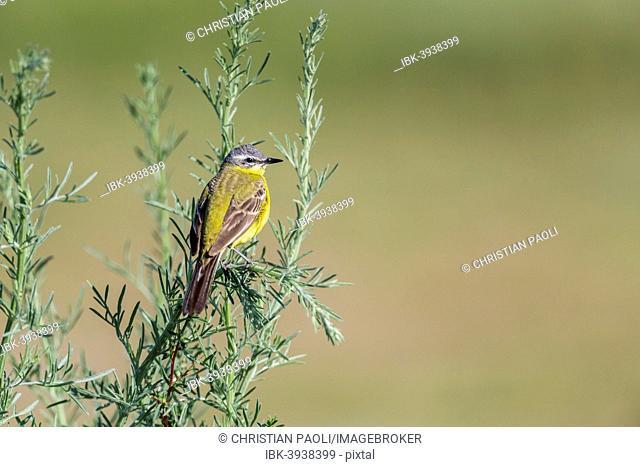 Western Yellow Wagtail (Motacilla flava) in breeding plumage, perched on a shrub, Seewinkel, Burgenland, Austria