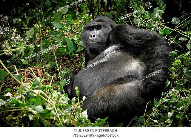 silverback mountain gorilla (Gorilla beringei beringei), Bwindi Impenetrable National Park, Uganda, Africa - Bwindi Impenetrable National Par, UGA; Uganda