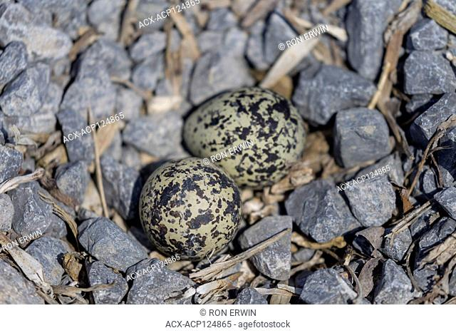 Killdeer (Charadrius vociferus) eggs in a parking lot on Wolfe Island, Ontario, Canada