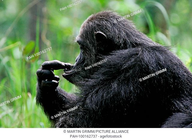 Eastern chimpanzee (Pan troglodytes schweinfurthii) playing with fingers in its face, Gombe Stream National Park, Tanzania | usage worldwide