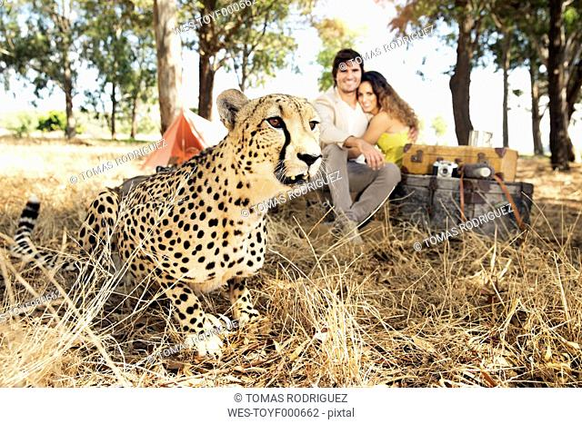 South Africa, cheetah on meadow with man and woman in background