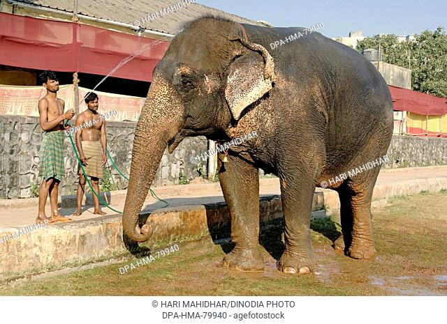 Asian Elephant (Elephas maximus) being given bath by Mahavat , India