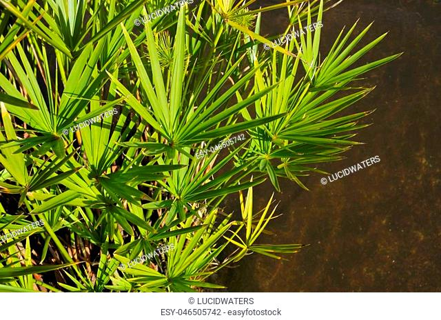 Cyperus involucratus water plant. The plant is native to Madagascar, one of the western Indian Ocean islands