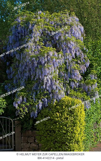 Blossoming Wistaria (Wisteria), Bavaria, Germany