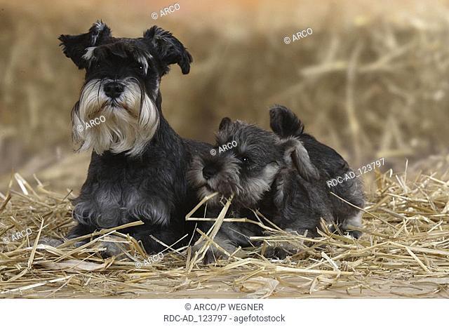 Miniature Schnauzer with puppy 9 weeks