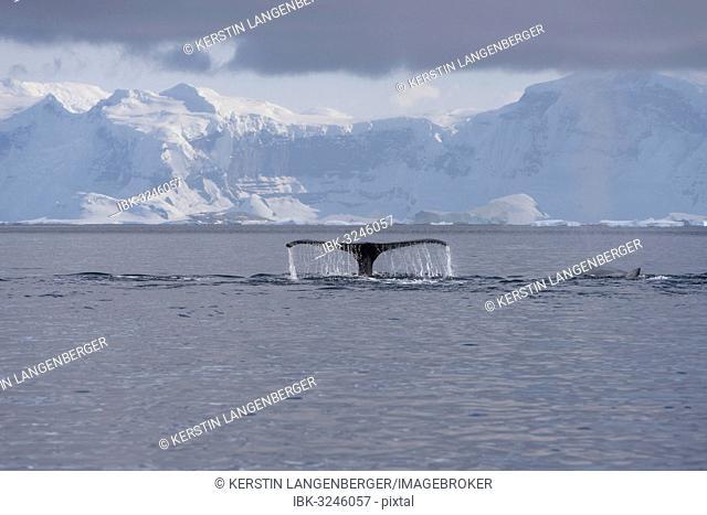Fluke of a Humpback Whale (Megaptera novaeangliae), diving, Gerlache Strait, Antarctic Peninsula, Antarctica