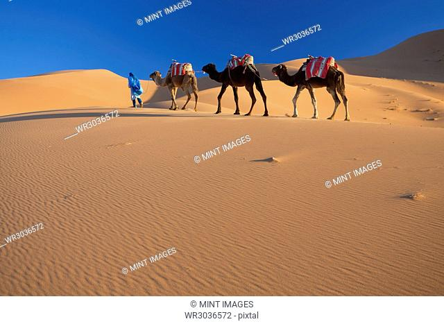 Tuareg man leading camel train through the Sahara desert