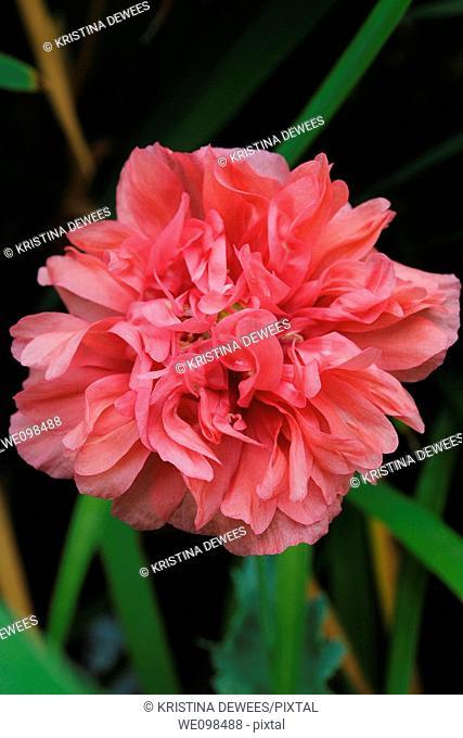 An Antique Peony Poppy blossom