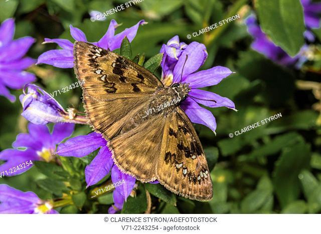 Wild Indigo Duskywing Skipper (Erynnis baptisiae) Feeding on Fan Flower (Scaevola hybrid) Flower