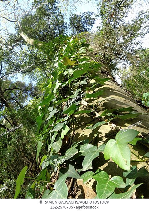 Ivy (Hedera helix). Catalonia, Spain