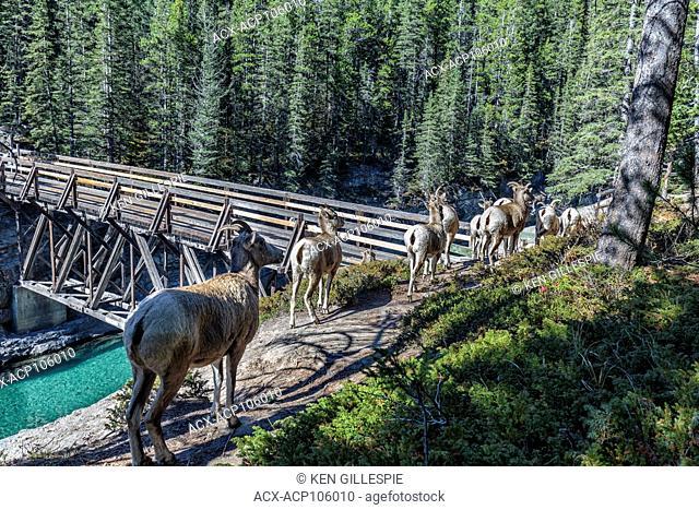 Bighorn Sheep crossing the bridge at Stewart Canyon, Banff National Park, Alberta, Canyon