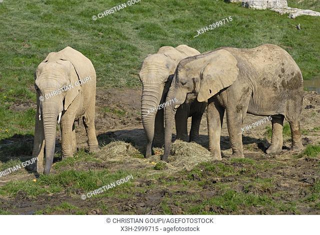 African savanna elephant (Loxodonta africana), ZooParc de Beauval, Loir-et-Cher department, Centre-Val de Loire region, France, Europe