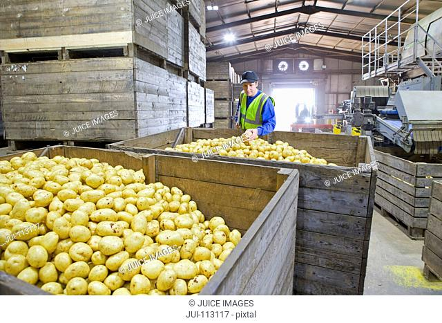 Worker examining fresh harvested potatoes in bin