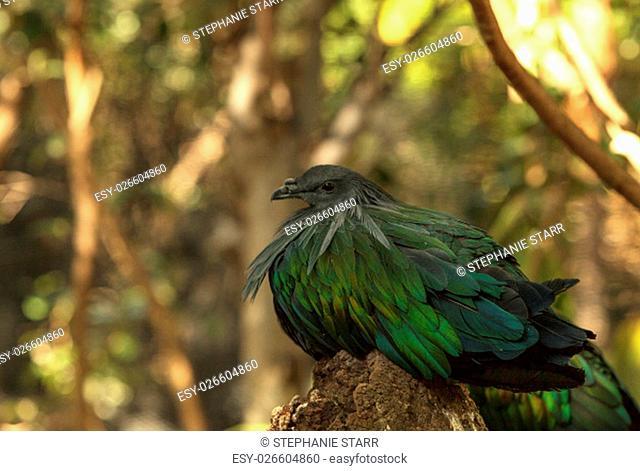 Nicobar Pigeon, Caloenas nicobarica, bird found in Nicobar to Luzon, and New Guinea