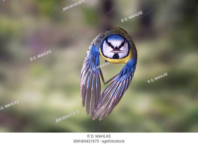 blue tit (Parus caeruleus, Cyanistes caeruleus), blue tit in flight with a sunflower seed in its bill, Germany, North Rhine-Westphalia
