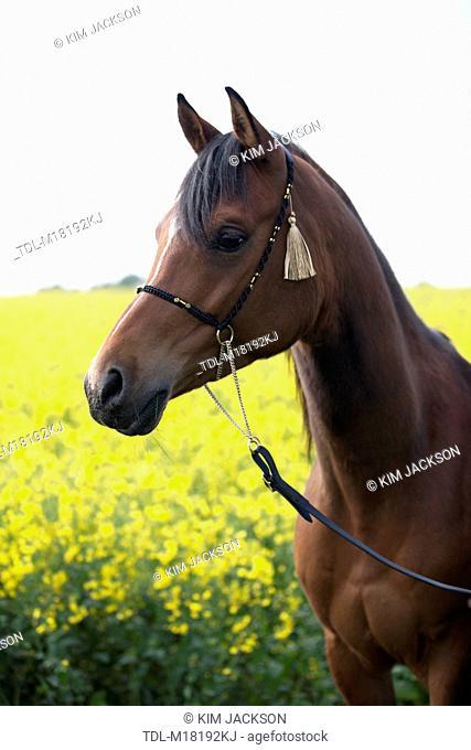 A bright bay Arabian horse standing in a rape seed field