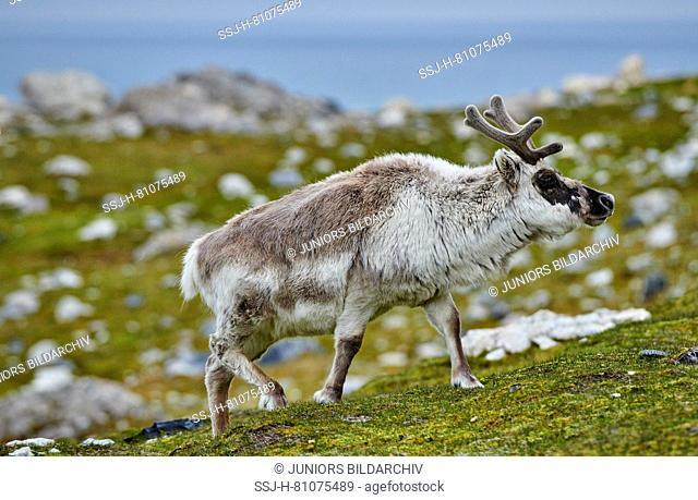 Svalbard Reindeer (Rangifer tarandus platyrhynchus). Bull in velvet walking in tundra in summer. Svalbard
