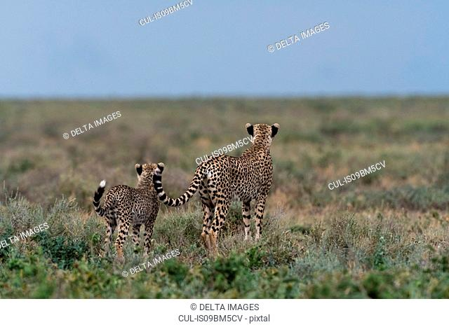 A female cheetah (Acinonyx jubatus) and its cub surveying the savannah, Ndutu, Ngorongoro Conservation Area, Serengeti, Tanzania