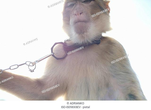 Monkey wearing pet collar