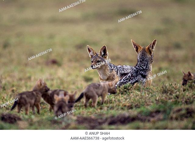 Black-backed jackals with playful pups aged 3 weeks (Canis mesomelas). Maasai Mara National Reserve, Kenya. Aug 2011