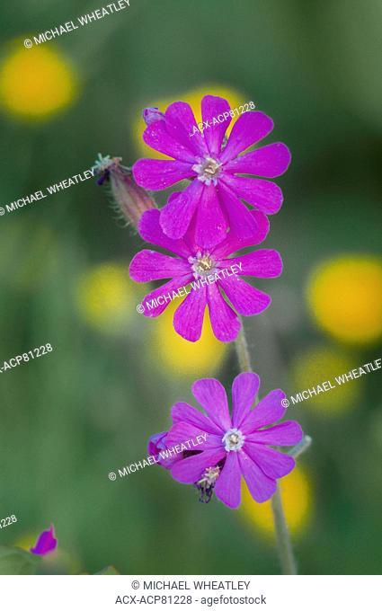 Catchfly, Silene scouleri ssp scouleri, Spanish Banks, Vancouver, British Columbia, Canada