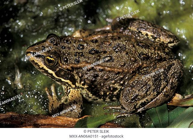 Northern Leopard Frog, Rana Pipiens, Thompson Okanagan, British Columbia, Canada