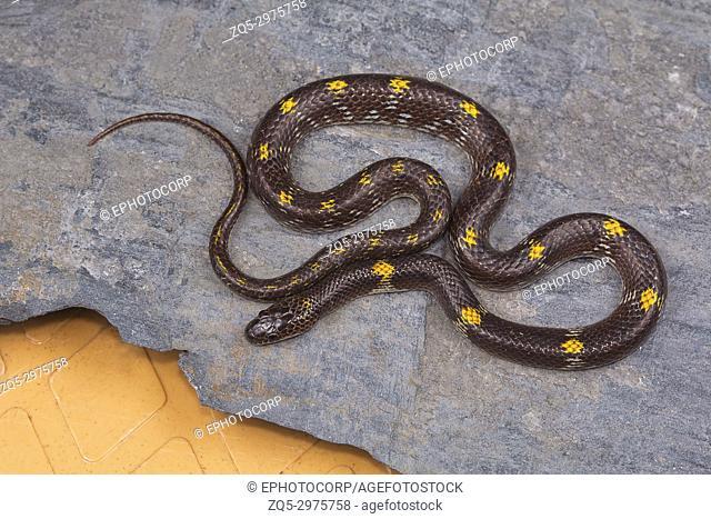 Barred wolf snake, Lycodon striatus from Kaas plateau, Satara district, Maharashtra