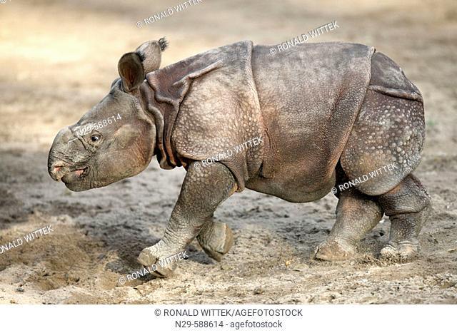 Indian One-horned Rhino (Rhinoceros unicornis), captive, 3 week old cub