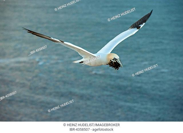 Northern Gannet (Morus bassanus) in flight with nesting material, Heligoland, Schleswig-Holstein, Germany