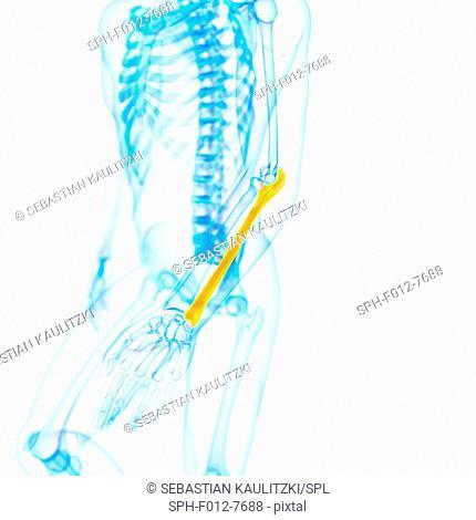 Human ulna (arm) bone, illustration