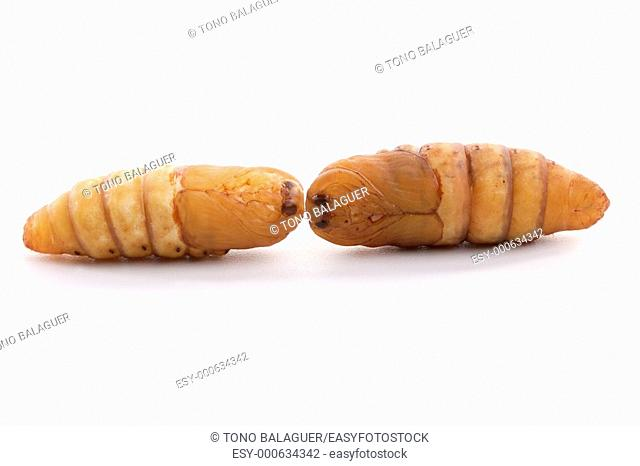 chrysalis silkworm on white background silk worm