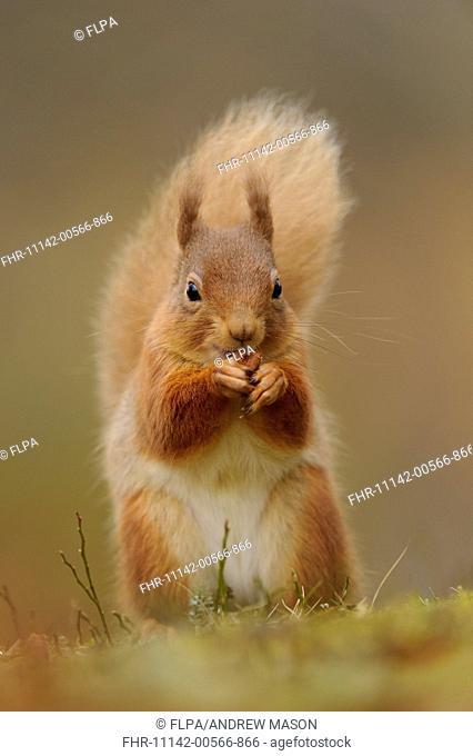Eurasian Red Squirrel (Sciurus vulgaris) adult, feeding on hazelnut, sitting amongst heather in coniferous forest, Cairngorms N.P