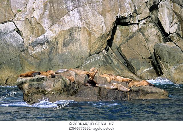 Stellersche Seeloewen ruhen auf einem Felsen in der Brandung - (Stellers Seeloewe) / Steller Sea Lions resting on a rock in the breakers - (Northern Sea Lion -...