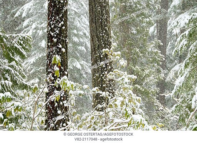 Douglas fir forest in snow, Willamette National Forest, Oregon