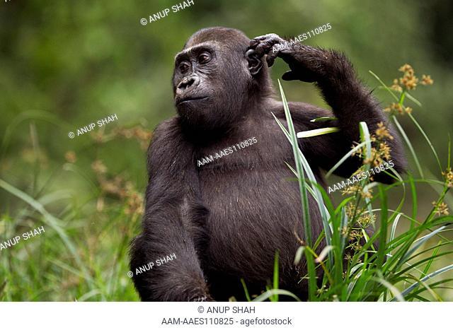 Western lowland gorilla juvenile mae 'Tembo' aged 4 years scratching his head - portrait (Gorilla gorilla gorilla). Bai Hokou