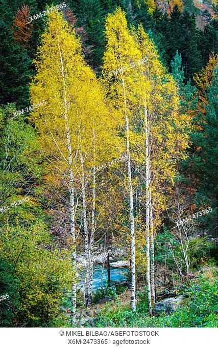 Silver birch (Betula pendula) in autumn. Bujaruelo Valley. . Pyrenees, Huesca, Spain, Europe