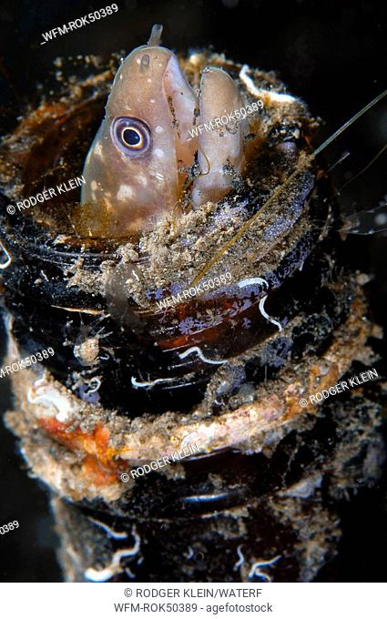 Dwarf Morey Eel living in beer bottle, Gymnothorax Sp., Lembeh Strait Sulawesi Celebes, Indonesia