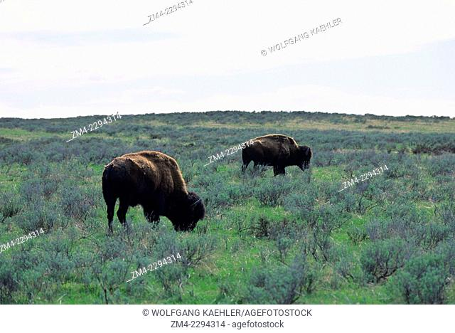 Bison grazing in Yellowstone National Park in Wyoming, United States