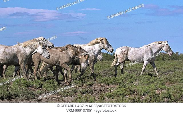 Camargue Horse Kicking, Saintes Marie de la Mer in The South of France, Real Time