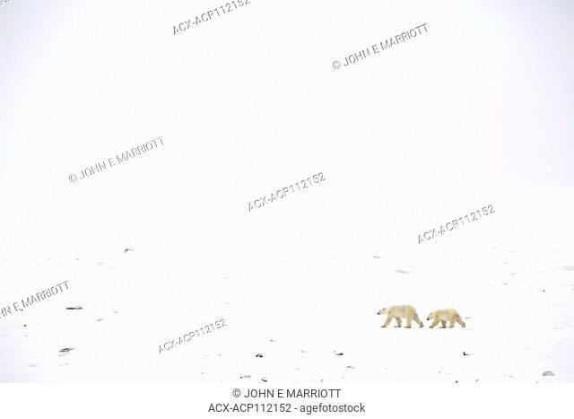 Polar bear, Ursus maritimus, sow and cub, Cape Churchill, MB, Canada