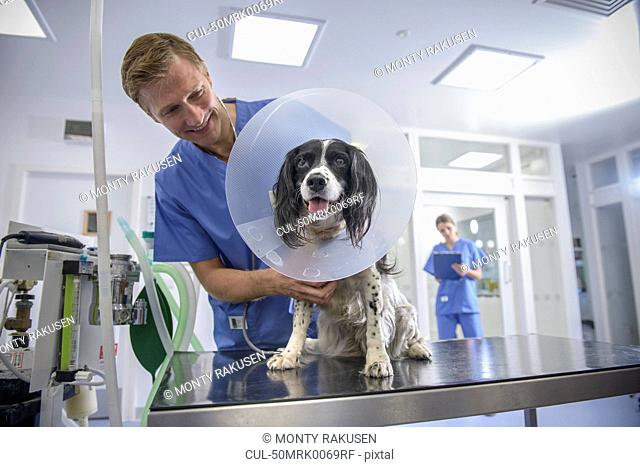 Veterinarian examining dog in cone