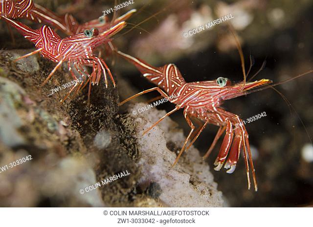 Dancing Shrimp (Rhynchocinetes durbanensis), Scuba Seraya house reef dive site, Seraya, Bali, Indonesia