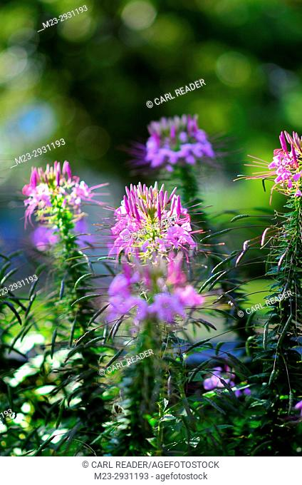 Cleome in soft focus catch the sunlight, Pennsylvania, USA