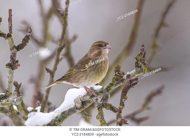 A female Greenfinch (Carduelis chloris) feeding in freezing conditions in a Norfolk garden