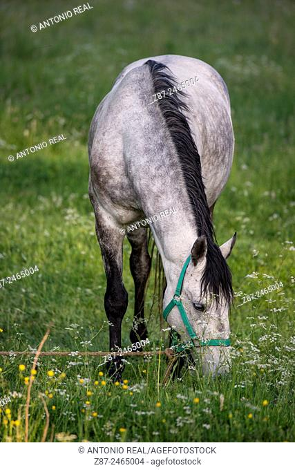 Horse grazing in a meadow, Parque Natural del Alto Tajo, Orea, Guadalajara province, Castilla-La Mancha, Spain
