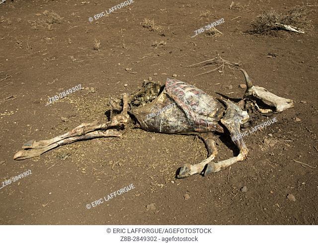 Dead cow during the drought, Oromia, Yabelo, Ethiopia