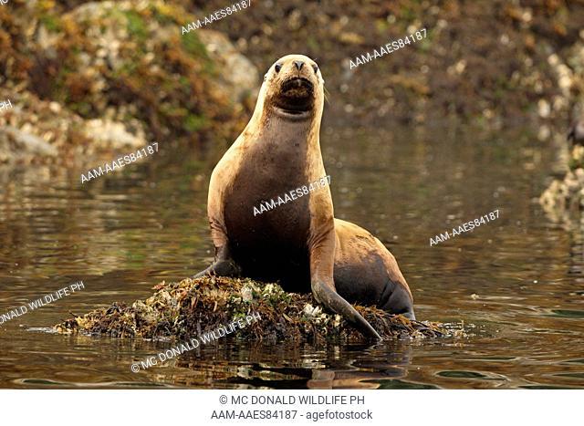 Steller Sea Lion (Eumetopias jubatus) Sea Island haulout near Admiralty Island, Alaska, United States