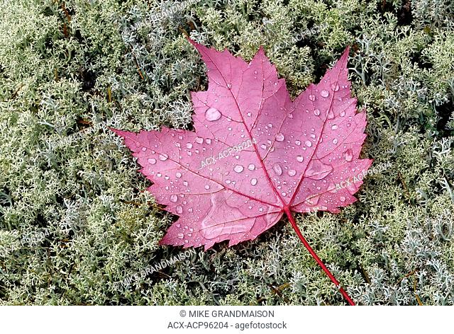 Rain drops on red maple leaves (Acer rubrum) on lichens Near Sioux Narrows Ontario Canada